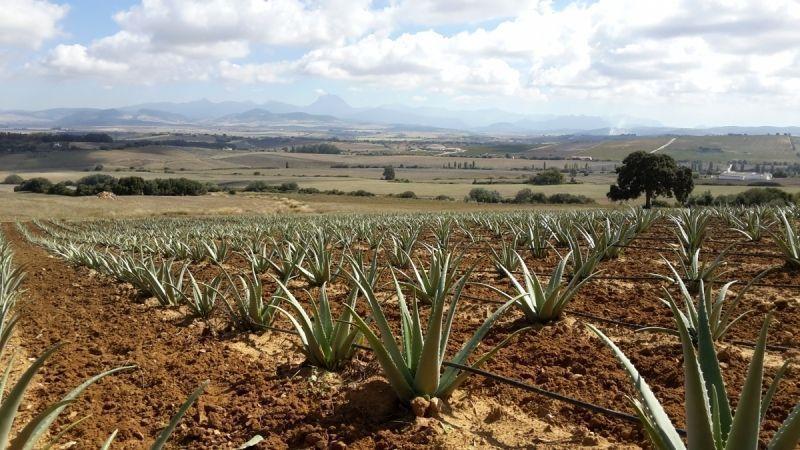 Cultivo Ecológico Aloe Vera