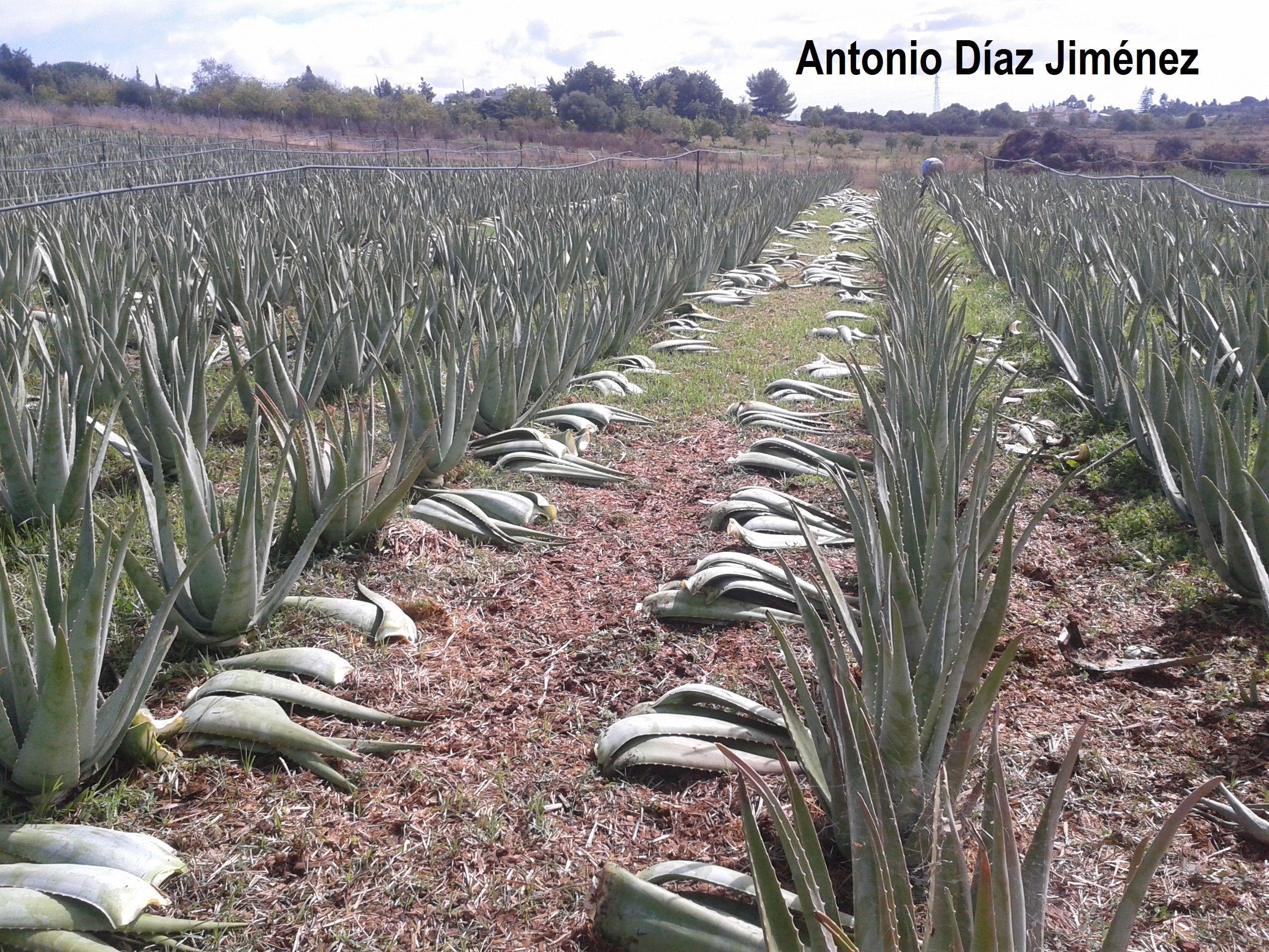 Es rentable el cultivo de aloe vera asocialoe for Que es la asociacion de cultivos