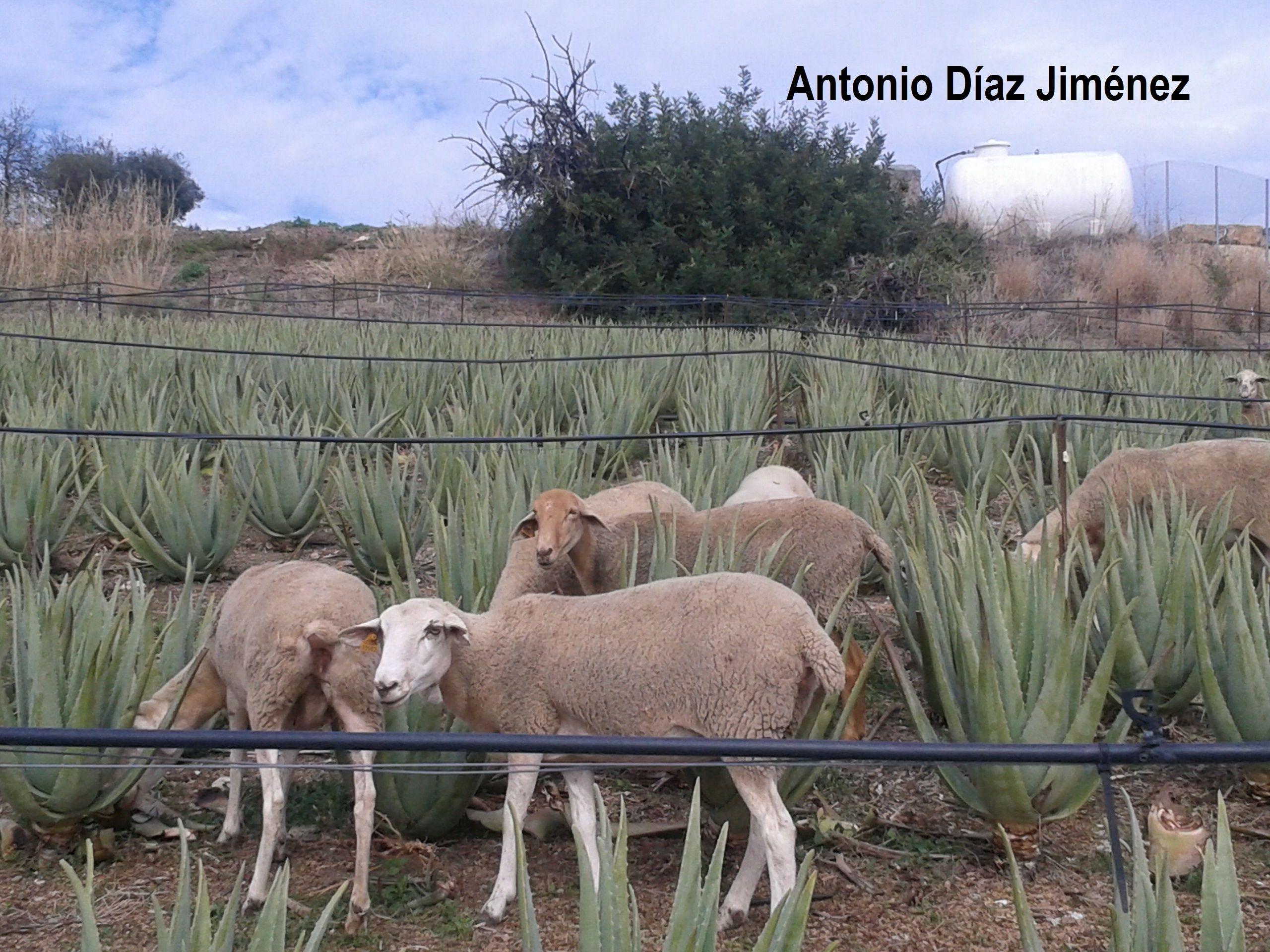 control de malas hiernas en el cultivo de Aloe vera ecológico