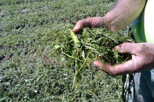 abono verde para el cultivo de aloe vera