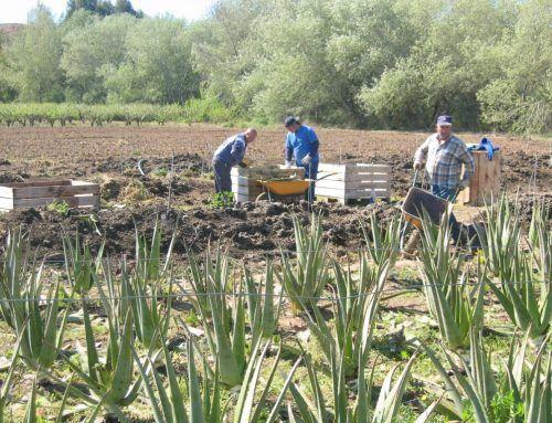 Asocialoe protesta por la no inclusión del Aloe vera en las subvenciones a la agroindustria de 2018 de Andalucía
