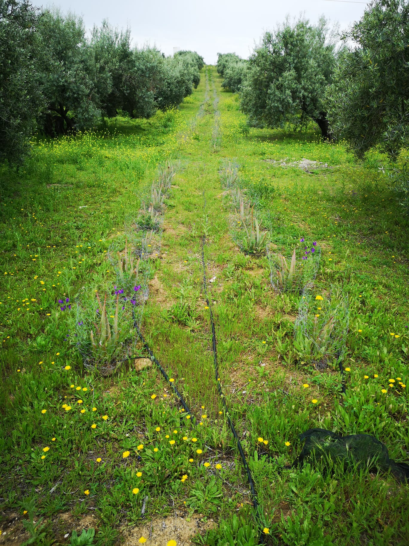 olivar de aloe